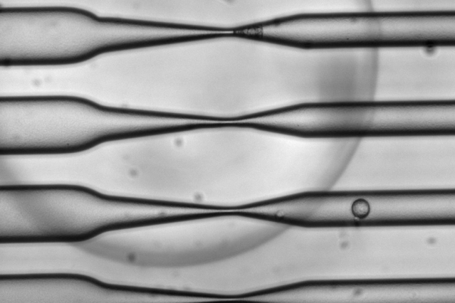 As cells pass through the CellSqueeze device at high speed, narrowing microfluidic channels apply a squeeze that opens small, temporary holes in the cells' membranes. As a result, large molecules — antigens, in the case of this study — can enter before the membrane reseals.