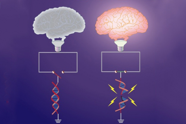 "Early-response genes, which are important for synaptic plasticity, are ""switched off"" under basal conditions by topological constraints. Neuronal activity triggers DNA breaks in a subset of early-response genes, which overrides these topological constraints, and ""switches on"" gene expression. Shown here is the topological constraint to early-response genes represented as an open switch (left) that is tethered by intact DNA. Formation of the break severs the constraint, and promotes the circuit to be closed (right). The ""brain bulb"" represents the manifestation of neuronal activity."