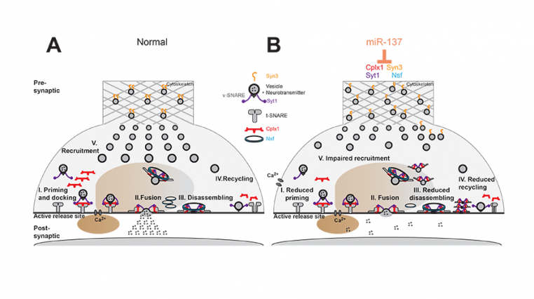 Model for presynaptic effects of miR-137, a specific microRNA, or short stretch of RNA.