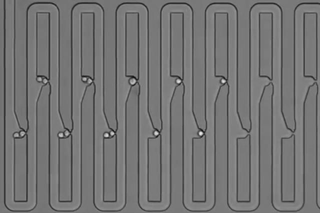 To track the family history for a single cell, researchers engineered a microfluidic device that traps first an individual cell and then all of its descendants. The device has several connected channels, each of which has a trapping pocket used to capture single cells in precise locations. After the initial cell grows and divides, its progeny float downstream and are captured in the next available trap. Through this process of dividing and trapping, researchers were able to track where single cells traveled after division and to determine lineage relationships for multiple generations.