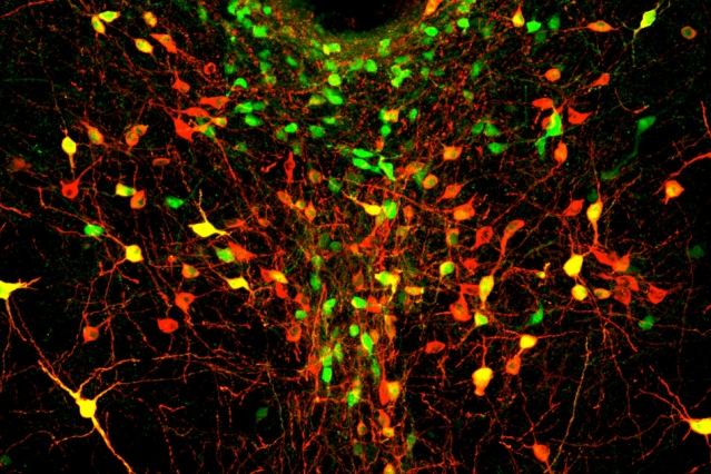 In this image of the dorsal raphe nucleus, dopamine neurons are labeled in green, red, or both (appearing yellow).