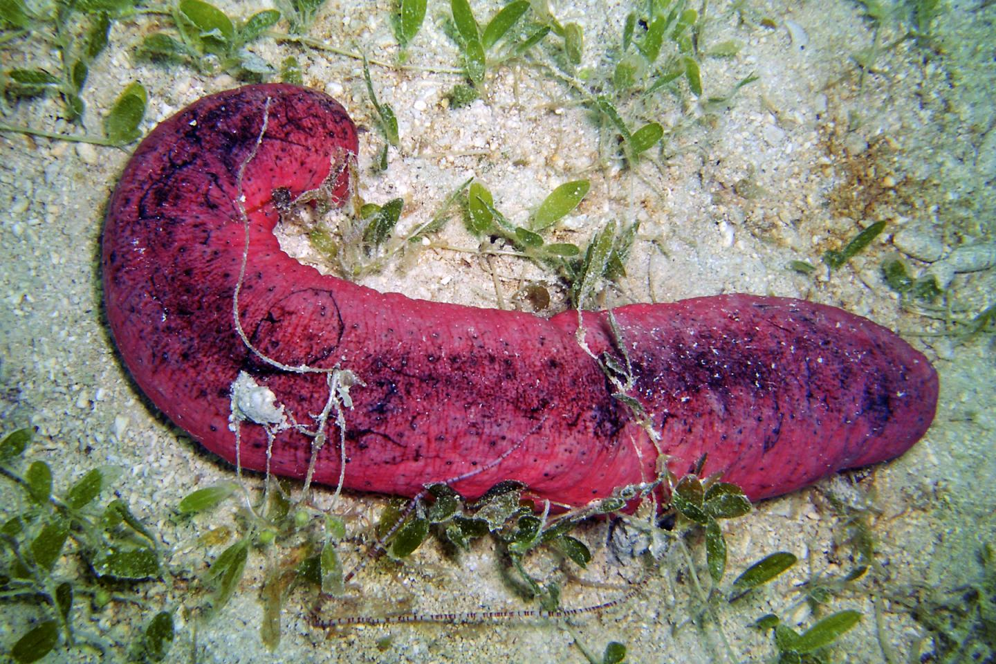 Sea cucumber hentai naked images