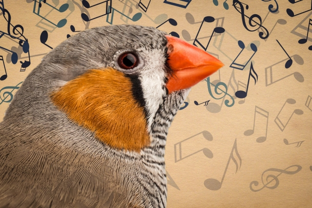When zebra finches first begin to sing, they produce only nonsense syllables similar to the babble of human babies. Now researchers at MIT have uncovered the brain activity that supports the birds' song-learning process.