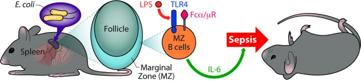 Novel role for spleen B cells in inflammatory response to bacterial toxins