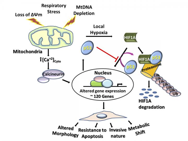 IMAGE  - 119207 web 1 - Penn team finds mitochondrial stress induces cancer-related metabolic shifts
