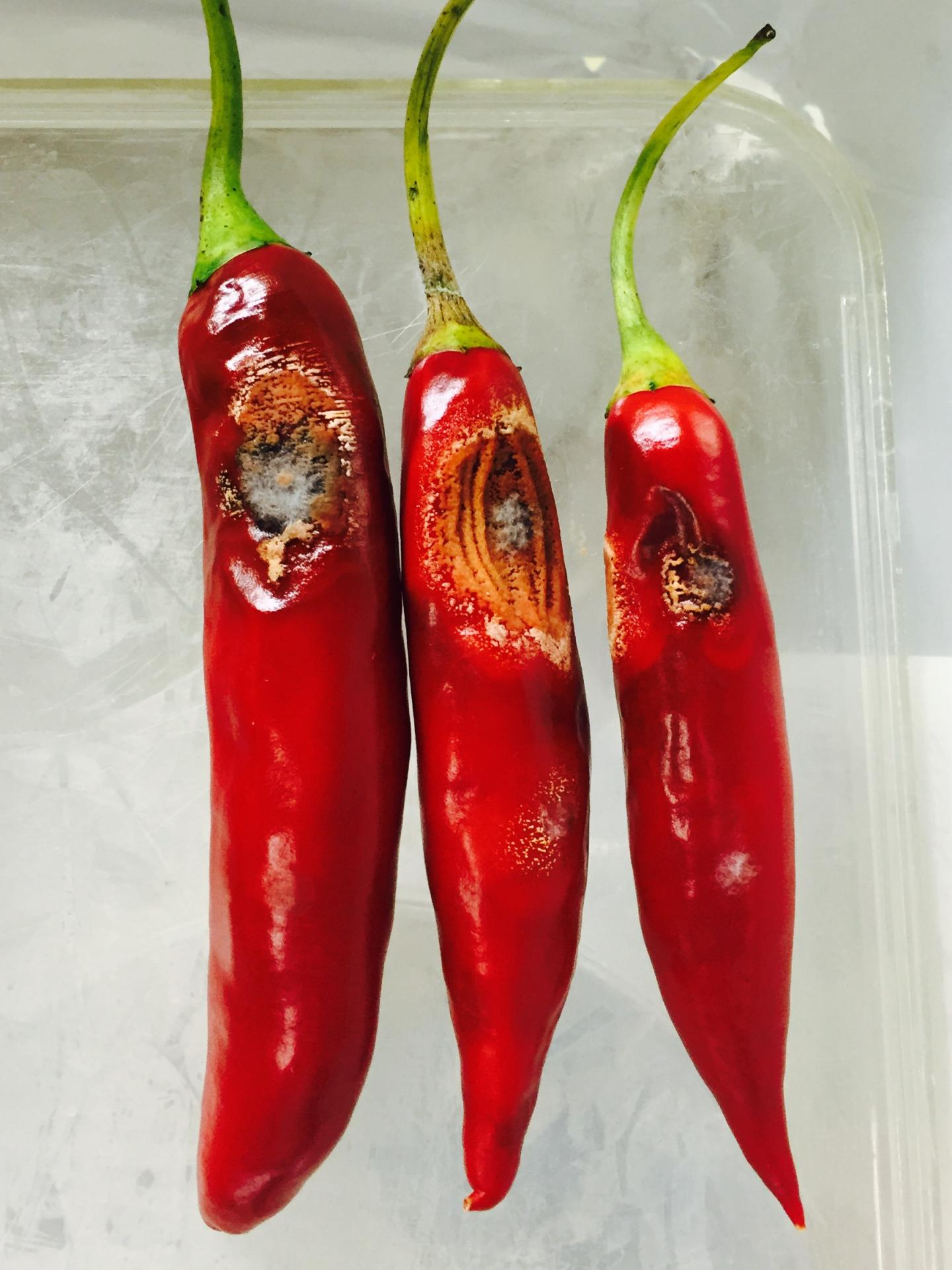 IMAGE  - 121403 web 3 - New chili pathogens discovered in Australia
