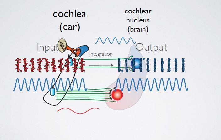 All in the timing: Mapping auditory brain cells for maximum hearing precision