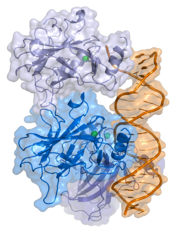 Cartoon representation of a complex between DNA and the protein p53 (described in Cho et al. Science 265 pp. 346, 1994 [1])