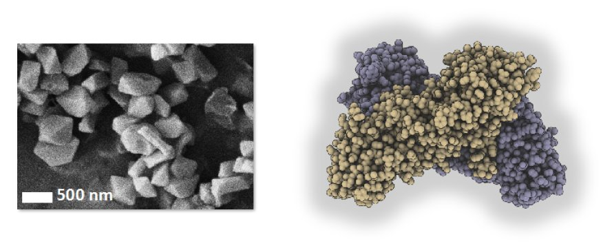 These crystals observed by electronic scanning microscopy (left) made it possible to elucidate the structure of the BinAB toxin (right). Credit: © Mari Gingery (left) / Jacques-Philippe Colletier (right).