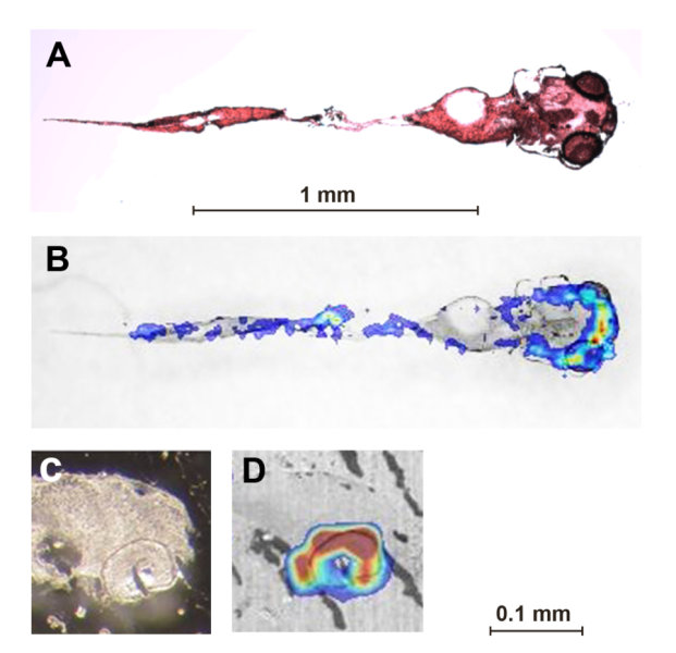 Cocaine distribution in five-day-old zebrafish larvae exposed to 50 µM cocaine for eight hours. A) Optical image of stained coronal tissue section, B) overlay of A with MALDI image. C) and D) Saggital section of head with eye (bottom right). In the MALDI images, blue = low concentrations, yellow-red = high concentrations of cocaine. By far the highest concentrations were found in the eyes. Credit: Image courtesy of EAWAG: Swiss Federal Institute of Aquatic Science and Technology