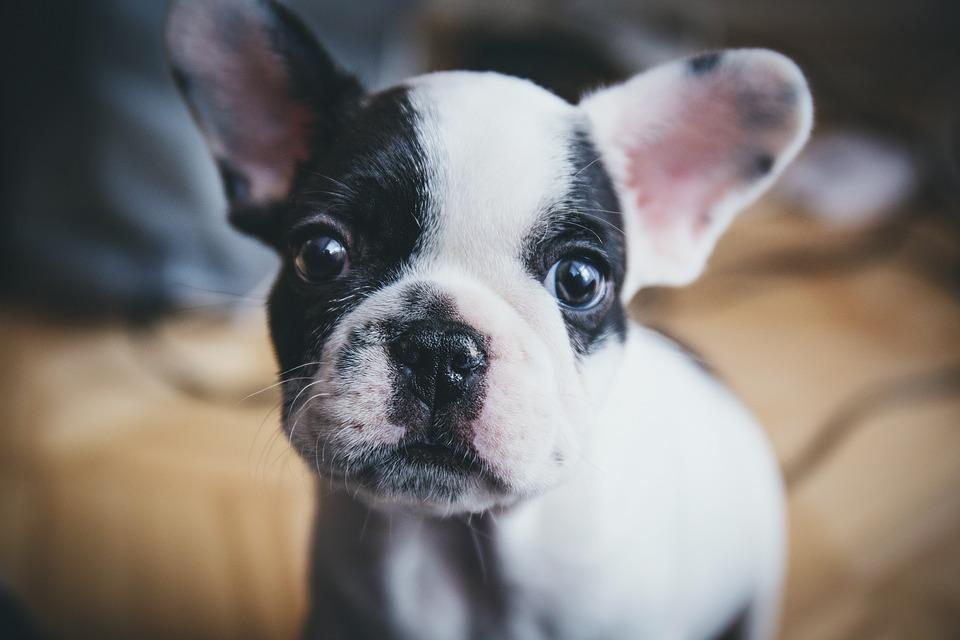 Genes underlying dogs' social ability revealed