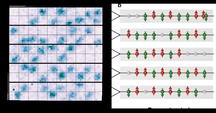 In (a) an originally obtained picture of a one-dimensional atomic chain is shown. The thick horizontal lines illustrate the barrier between different chains. In each chain, an atom appearing on the upper side of the thin dashed horizontal line has upward pointing magnetic moment (red) and vice versa as shown in the reconstructed image (b). In some cases, doubly occupied sites or holes (empty sites) are detected. Credit: Martin Boll, Quantum Many-Body Systems Division, MPQ