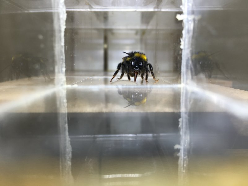 Photo of a bee drinking a droplet of sugar water. Credit: Clint J Perry