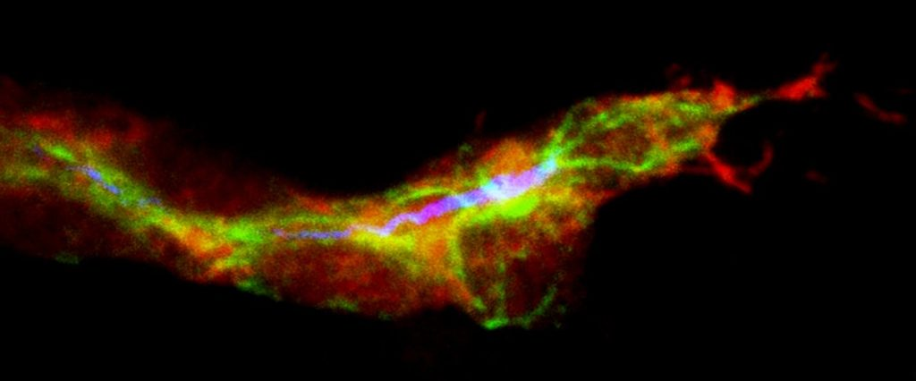 Terminal tracheal cell during the inicial ramification. In red, the cells of the trachea, in green the microtubules and in blue the lumen. Credit: Delia Ricolo and Sofia J. Araujo