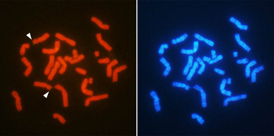 Chromosomal location of the sex-related gene AMH (arrowheads) in male T. osimensis. Chromosomes are double-stained with different fluorescent substances (red and blue) for the precise gene mapping. Credit: Otake T. and Kuroiwa A. Molecular mechanism of male differentiation is conserved in the SRY-absent mammal. Tokudaia osimensis. September 9, 2016, Scientific Reports