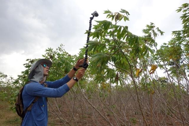 Pete McCloskey,  member of the PlantVillage team, uses  a GoPro camera in a Tanzanian cassava field to shoot video from which still images are pulled. Image: Penn State / EPFL