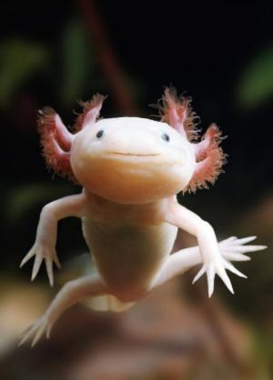 This is the axolotl, a remarkable model organism capable of complete limb and organ regeneration. Credit: Morgridge Institute for Research