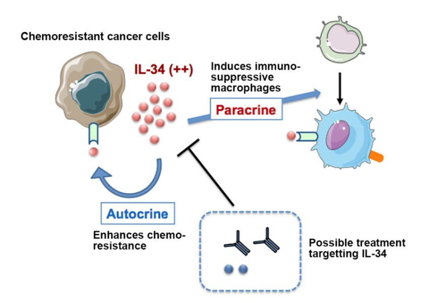 Chemoresistant cancer cells secrete IL-34, which induces production of immunosuppressive macrophages and enhances chemoresistance of the cancer cells. Credit: Image courtesy of Hokkaido University