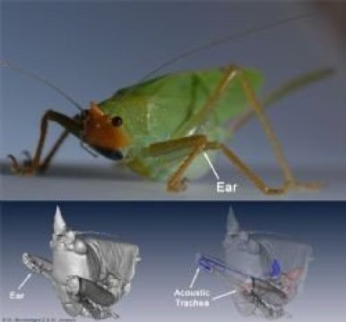 The new Leverhulme-funded research set out to explore how Copiphora gorgonensis -- a bush-cricket native to Colombia, South America -- is able to hear sound signals from potential mates and to detect the sound source. Credit: Image courtesy of University of Lincoln