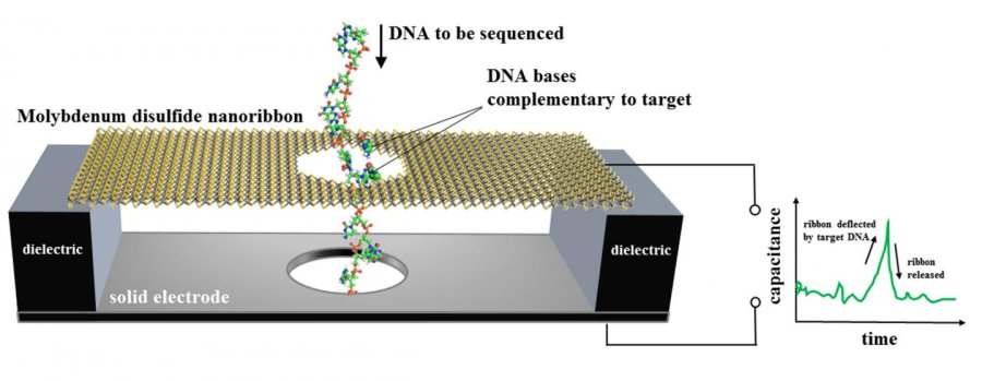 NIST's proposed design for a DNA sequencer based on an electronic motion sensor. A nanoscale ribbon of molybdenum disulfide is suspended over a metal electrode and immersed in water. Single-stranded DNA, containing a chain of bases (bits of genetic code), is threaded through a hole in the ribbon, which flexes only when a DNA base pairs up with and then separates from a complementary base affixed to the hole. The membrane motion is detected as an electrical signal. Numerical simulations and theoretical estimates show the membrane would be 79 to 86 percent accurate in identifying DNA bases in a single measurement at speeds up to about 70 million bases per second. Credit: NIST