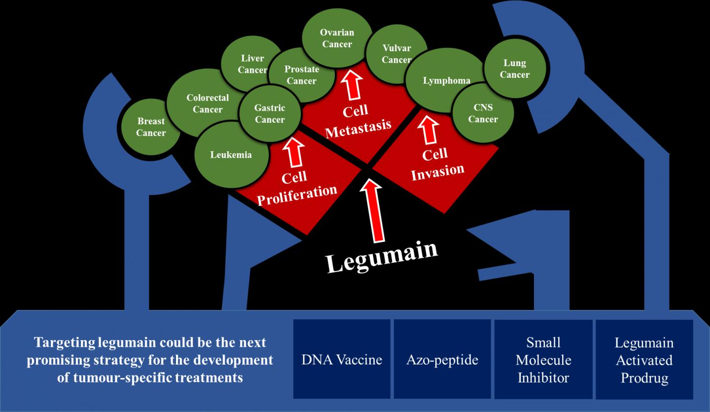 Targeting legumain as a novel therapeutic strategy in cancers