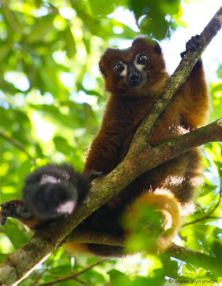 Researchers design facial recognition system as less invasive way to track lemurs in wild