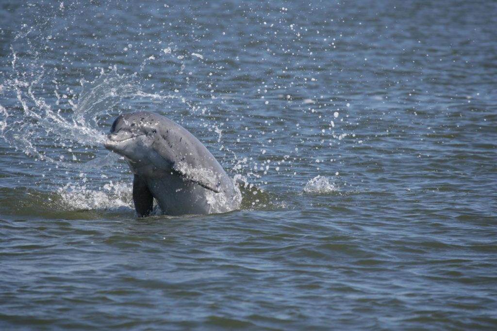 134038_web.jpg  - 134038 web 1024x683 - Diving deep into the dolphin genome could benefit human health