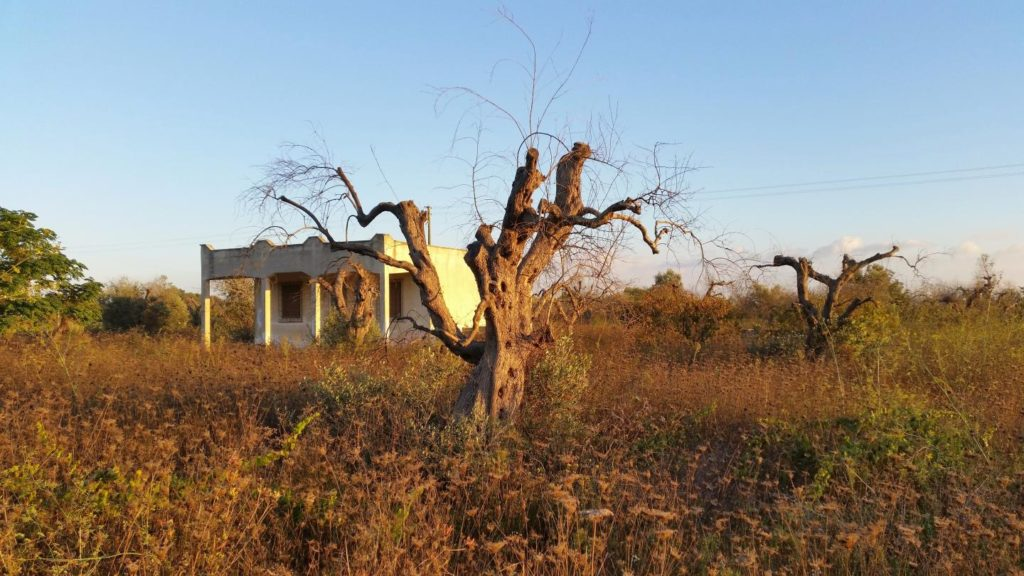 Study offers guidance on how to protect olive trees from being ravaged by deadly pathogen