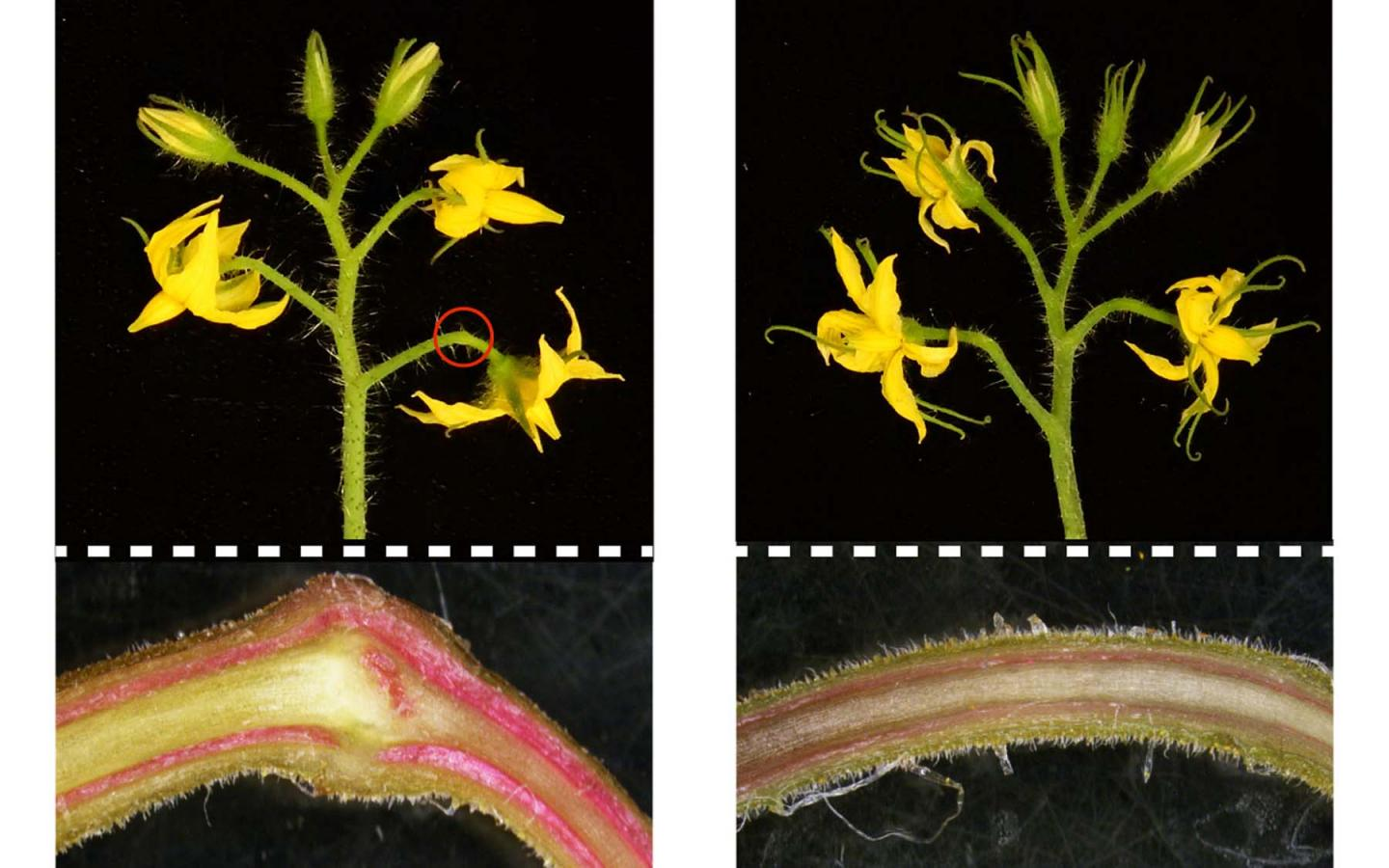 Cautionary Tale Of 4 Year Old Autistic >> Cryptic Mutation Is Cautionary Tale For Crop Gene Editing Scienmag
