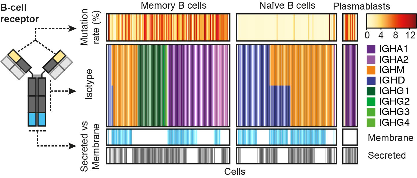 A genomic barcode tracker for immune cells