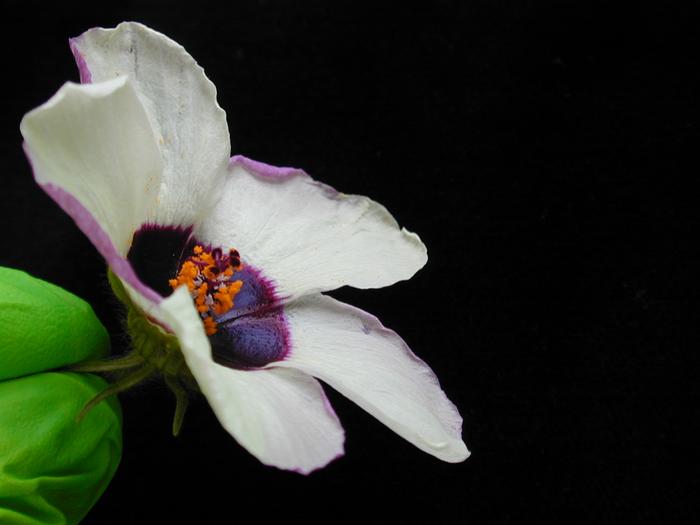 Hibiscus trionum flower