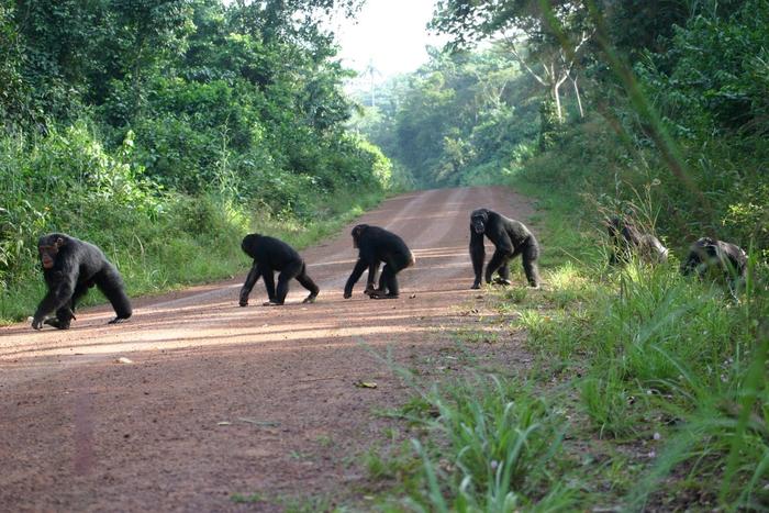 Chimpanzees crossing a road